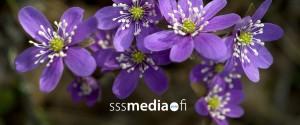 sinivuokko_logo
